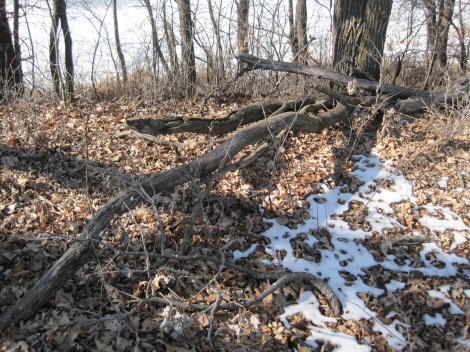Fallen rotting trees and Buckthorn brush