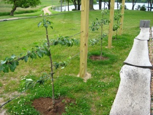 Three espalier apple trees after one month growth