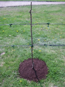 Espalier tree with two horizontal cordon tiers