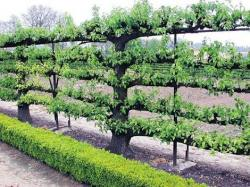 Mature espalier apple tree fence