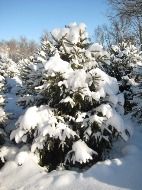 White Spruce covered with snow
